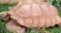 Murió a los 344 años Alagba, la tortuga más vieja de África