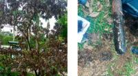 Envenenan árbol que sembró el papa Francisco en su visita a Villavicencio