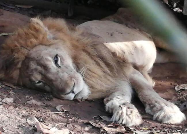 Convocan a una 'velatón' para orar por la recuperación del león 'Jupiter'