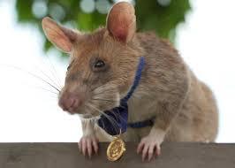 Conozcan a Magawa, la rata condecorada por su valentía para detectar minas antipersonales