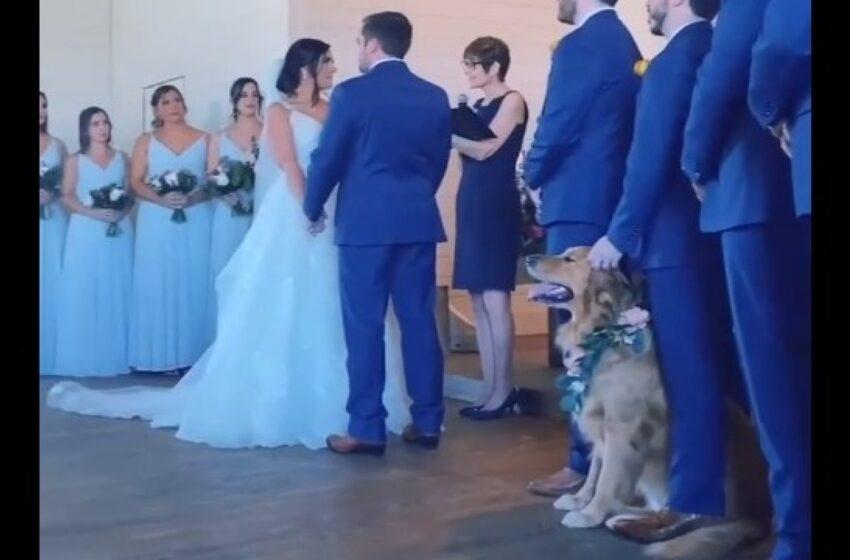 Video: perro pajecito se robó el show en una boda y también miles de corazones en redes