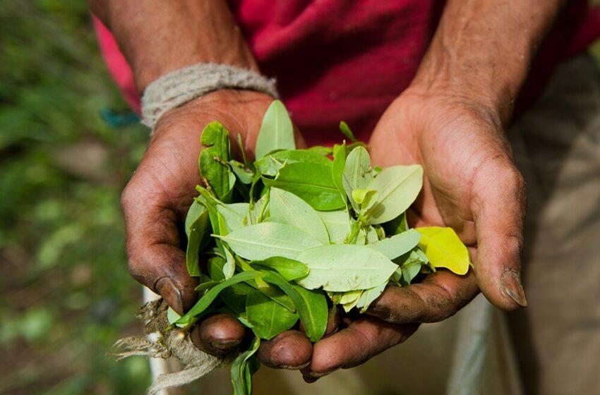Aumenta producción de coca, revela informe de Sistema de Monitoreo de Naciones Unidas